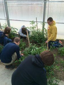 Greenhouse pruning 2